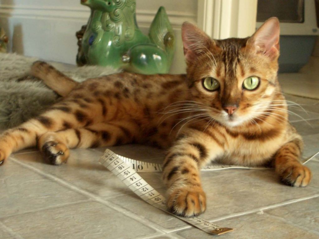 How big do Bengal cats get?