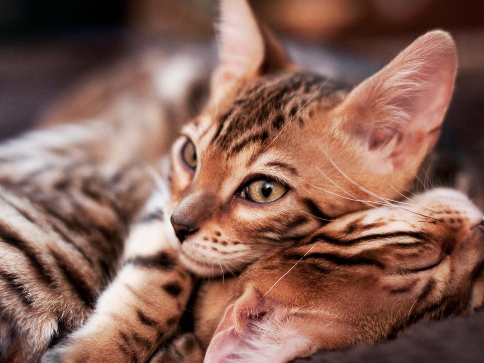 Adopt A Bengal Cat Kitten - Pets Wallpapers