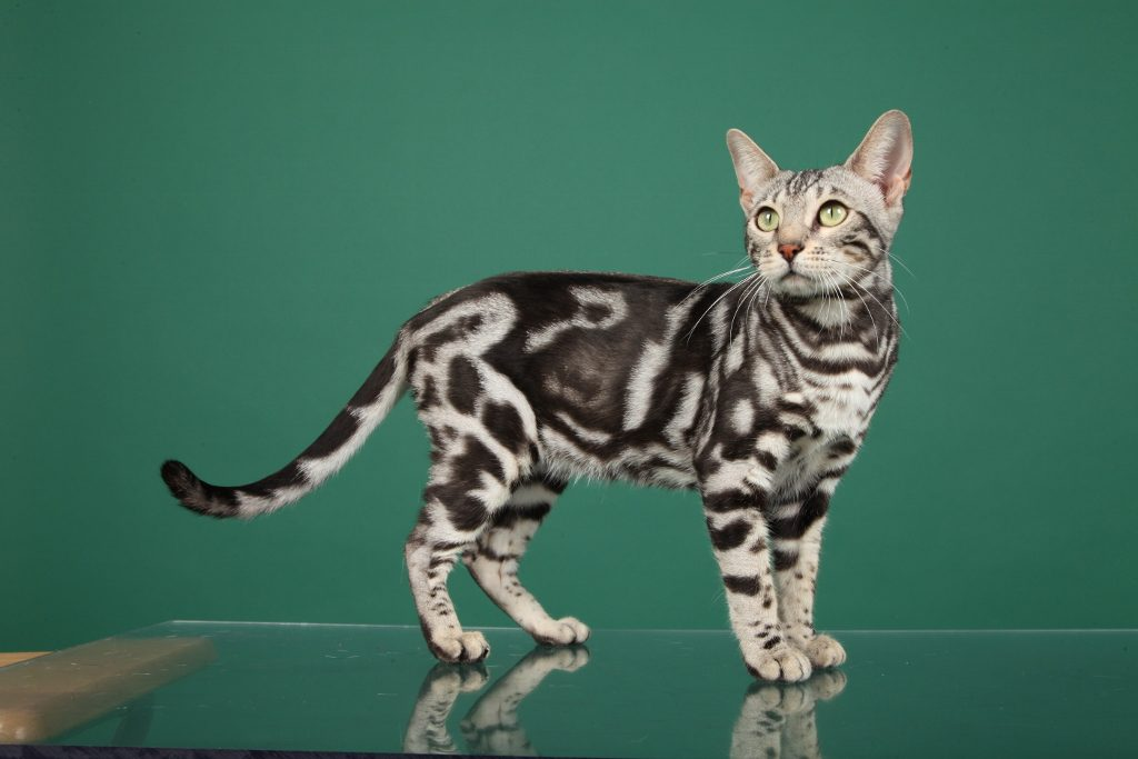 Are Bengal Cats Hypoallergenic Bengal Cat Care Advice