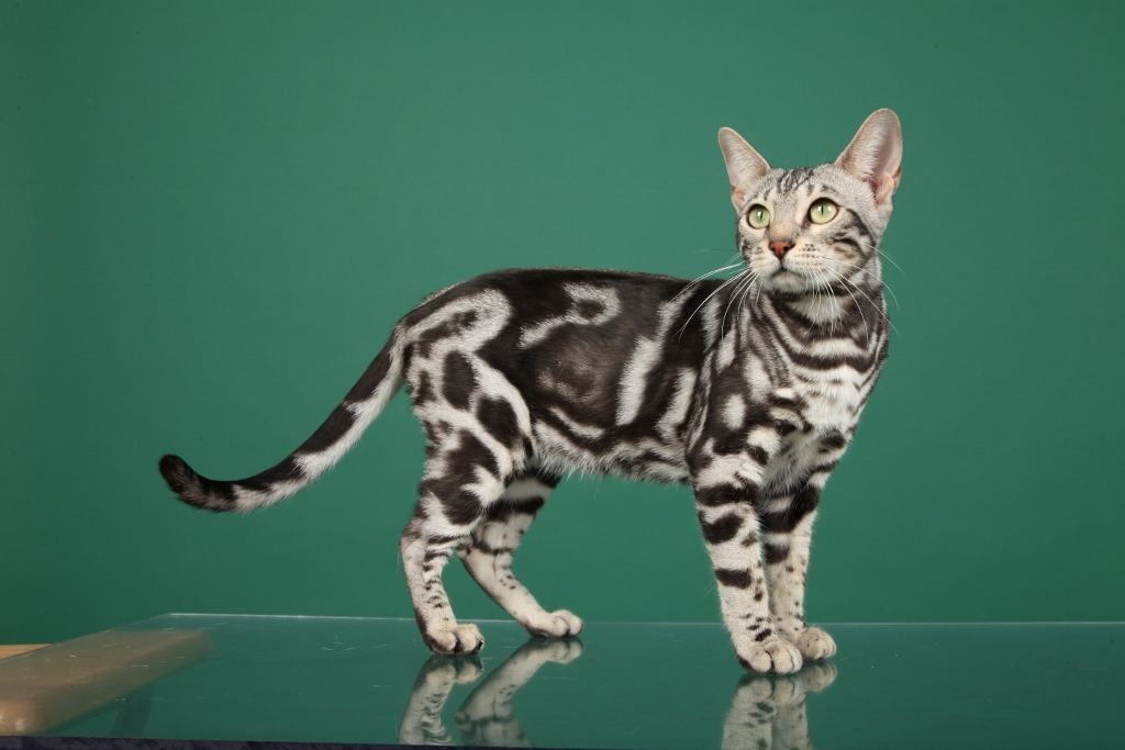 Are Bengal Cats Hypoallergenic Bengal Cat Care