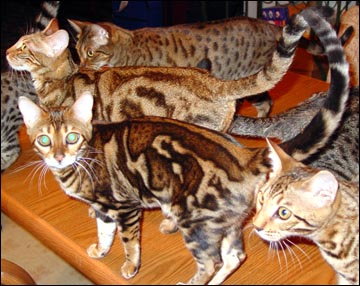 Marble Bengal Cats - 3D or embossed - Bengal Cat Care