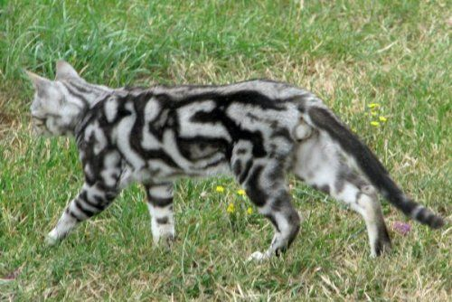 Marble Bengal Cats 3d Or Embossed Bengal Cat Care Advice