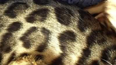 Bengal Cat Care Advice Get Answers For A Happy Healthy Cat
