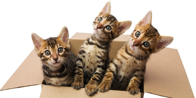 The Ultimate Guide to Caring for your Bengal Cat or Kitten