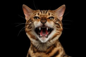 Are bengal cats have behavioral issues