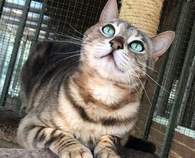 Why You Need To Adopt A Retired Bengal Cat Queen - Bengal