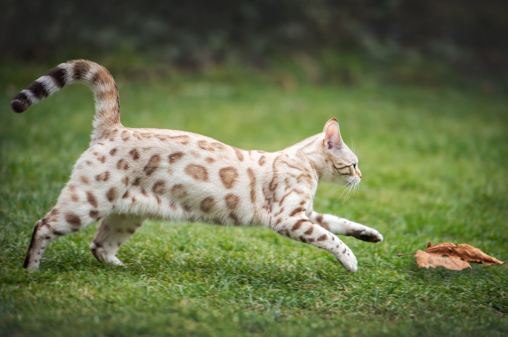 White snow Bengal markings