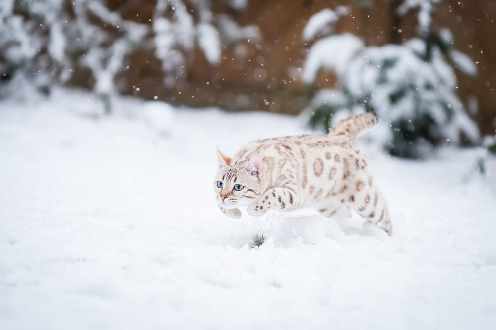 White Mink Bengal Snow
