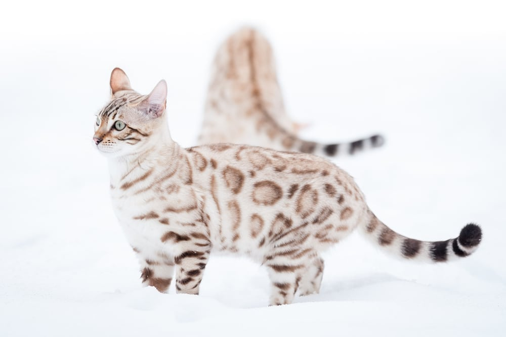 Owning A Snow Bengal Cat Everything You Need To Know Bengal Cat Care