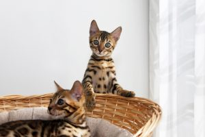 Small bengal kittens