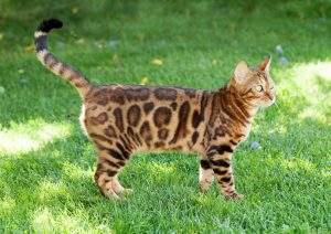 Young bengal cat